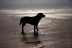 Cymryan Beach and a dog Royalty Free Stock Photography