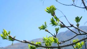 Cynaderki okwitnięcie na drzewach przeciw niebieskiemu niebu kwiaty drzewa zbiory