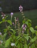 Cynamonowa basil roślina zdjęcie royalty free