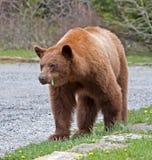 Cynamonowy Amerykański Czarny niedźwiedź Zdjęcie Royalty Free