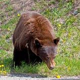 Cynamonowy Amerykański Czarny niedźwiedź Fotografia Stock