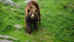 Cynamonowy Brown niedźwiedź Fotografia Royalty Free