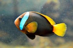 Cynamonowy clownfish Amphiprion melanopus zdjęcia royalty free