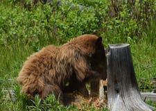 Cynamonowy Czarnego niedźwiedzia kopać Obrazy Stock