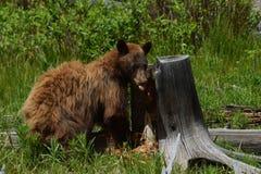 Cynamonowy Czarnego niedźwiedzia kopać Zdjęcia Royalty Free