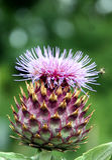 cynara cardunculus αγκιναρών στοκ εικόνες