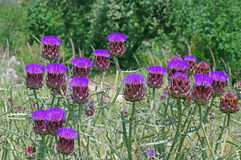 Cynara scolymus, the Globe Artichoke family Asteraceae in blume. Artichoke heads with flower in bloom Stock Images