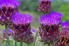 Cynara scolymus, l'asteraceae della famiglia del carciofo nel blume Fotografia Stock Libera da Diritti