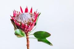 Cynaroides Protea, protea короля, цветковое растение стоковые фотографии rf