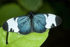 Cyndo Butterfly. Heliconius cyndo perched on a leaf Stock Image