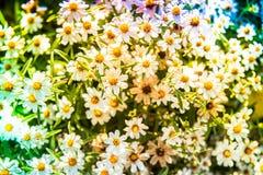 Cyni angustifolia, Gwiazdowy biel Zdjęcie Royalty Free