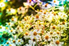 Cyni angustifolia, Gwiazdowy biel Zdjęcia Stock