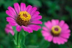 Cyni angustifolia kwiaty Zdjęcie Stock