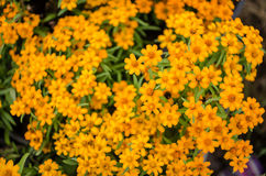Cyni angustifolia kwiaty Zdjęcia Royalty Free