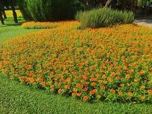 Cyni anguvstifolia, okwitnięcie ogród, cynie uprawia ogródek Obraz Stock