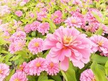 Cyni Elegans kwiaty Fotografia Stock