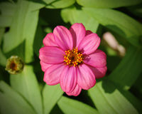 Cyni flower& x28; Cyni violacea Cav & x29; Obrazy Stock