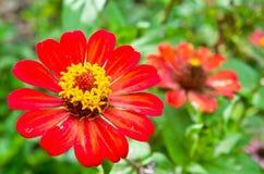 Cynia kwiat Zdjęcia Stock