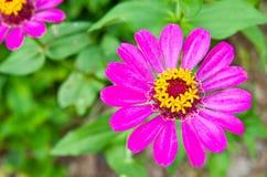Cynia kwiat Obraz Royalty Free