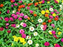 Cynia kwiat jest jeden najwięcej kwiatów kwiatów Obrazy Royalty Free