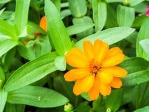 Cynia kwiat jest jeden najwięcej kwiatów kwiatów Fotografia Royalty Free