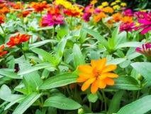 Cynia kwiat jest jeden najwięcej kwiatów kwiatów Obraz Stock