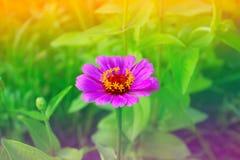 Cynia kwiat w ogródzie Zdjęcia Stock