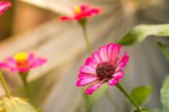 Cynia kwiat w ogr?dzie zdjęcia stock