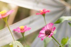 Cynia kwiat w ogr?dzie zdjęcia royalty free