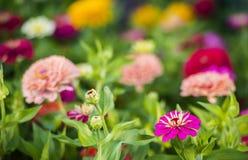 Cynia kwiaty Zdjęcia Royalty Free
