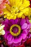 Cynia kwiaty Fotografia Royalty Free