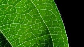 Cynia liścia szczegół Zdjęcia Royalty Free