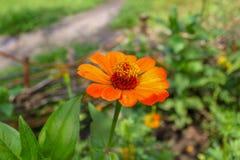 Cynie & x28; roślina Obraz Stock
