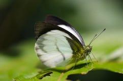 Cynis da égide de Phrissura, o branco da floresta Foto de Stock
