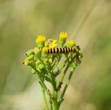 Cynobrowego ćma gąsienica na ragwort Fotografia Royalty Free