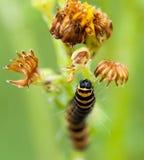 Cynobrowego ćma gąsienica na ragwort Fotografia Stock