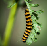 Cynobrowy ćma Caterpillar Fotografia Royalty Free