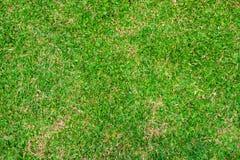Cynodon dactylon garden lawn Stock Images