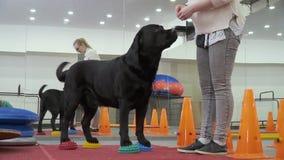 Cynologist dá o petisco a Labrador para o comando executado correto vídeos de arquivo