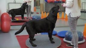 Cynologist forme Labrador noir dans le gymnase banque de vidéos