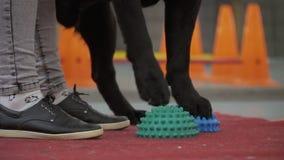 Cynologist ha messo le zampe del ` s del cane alle palle speciali per equilibrio di formazione archivi video