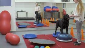 Cynologist que treina o Labrador preto no gym vídeos de arquivo