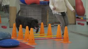 Cynologist trains dog running with him through barriers. Cynologist trains black labrador in the gym. Woman holds a feed in hand and makes some discipline stock video