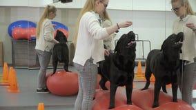 Cynologist treina Labrador no gym perto do espelho video estoque