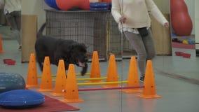 Cynologist treina o cão que corre com ele através das barreiras video estoque