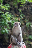 Cynomolgus Monkey at Batu Caves Stock Photography
