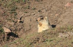 Cynomys (cane di prateria), groundhog, Gopher Fotografie Stock