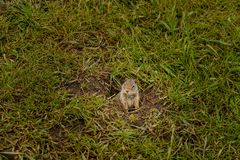 Cynomys de chien de prairie en parc national de Yellowstone photos libres de droits