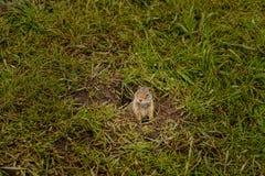Cynomys della marmotta nel parco nazionale di Yellowstone fotografie stock libere da diritti