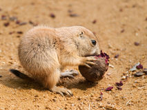 Cynomys ludovicianus - baby of black tailed prairie dog Royalty Free Stock Photo